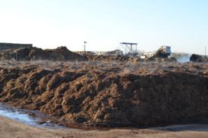 Le compost en fermentation est un mélange de fumier de cheval et de paille.