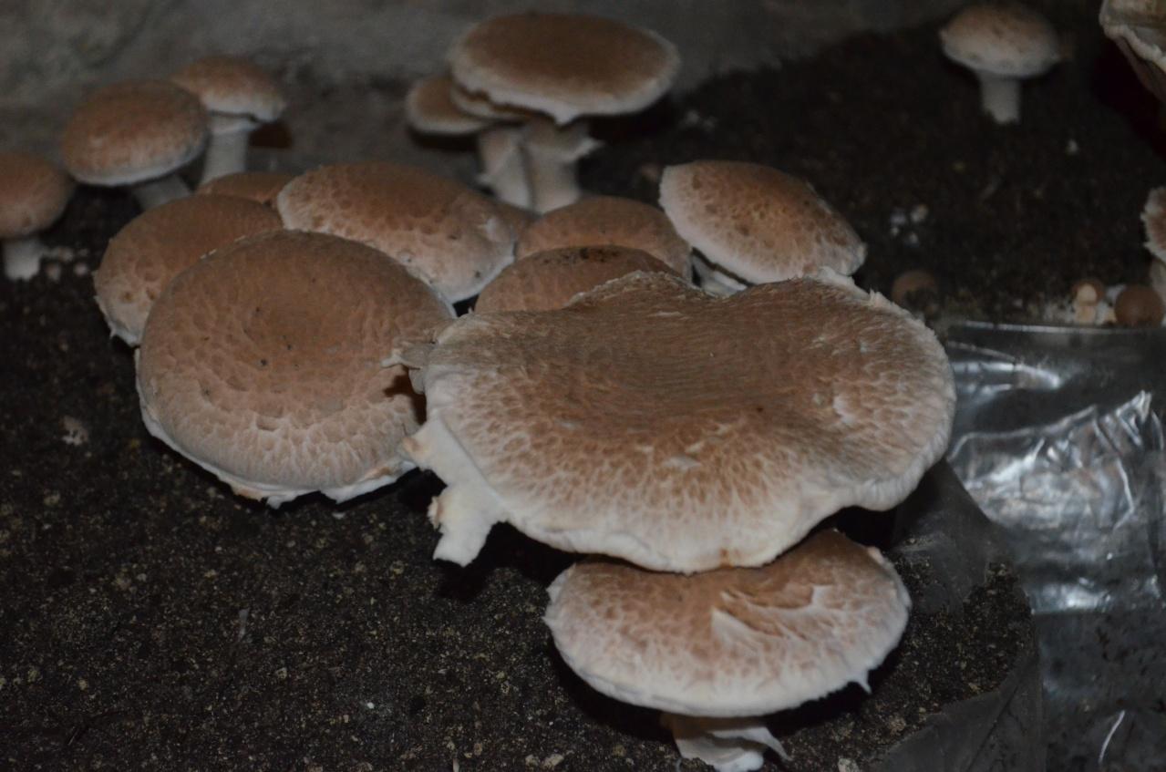 diaporama champignon blond galerie la cave vivante du. Black Bedroom Furniture Sets. Home Design Ideas